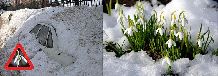 Почему же подснежники растут зимой почему